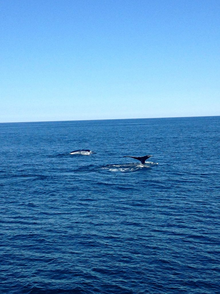 Humpback Whales off of Cape Cod Bay