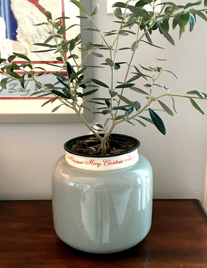 My olive tree in a Goodwill gray pot tied with Christmas ribbon.